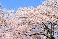 芦野公園の桜 見頃はいつ?ライトアップと桜まつり お勧め情報!